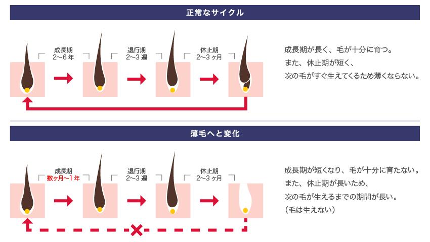 正常なサイクル 成長期が長く、毛が十分に育つ。また、休止期が短く、次の毛がすぐ生えてくるため薄くならない。 薄毛へと変化 成長期が短くなり、毛が十分に育たない。また、休止期が長いため、次の毛が生えるまでの期間が長い。(毛は生えない)